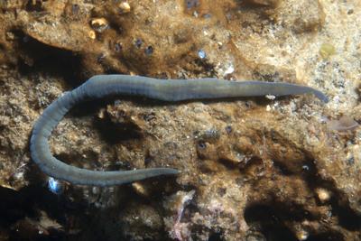 Schnurwurm